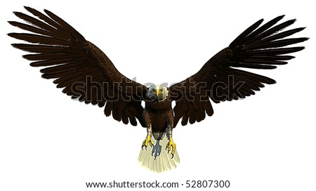 american bald eagle flying and hunting - stock photo