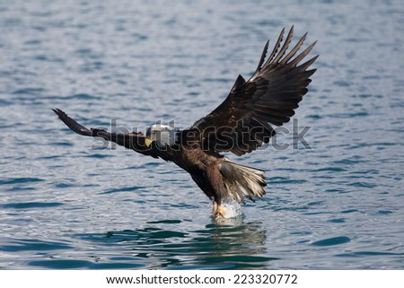 American Bald Eagle flying, Homer Alaska - stock photo