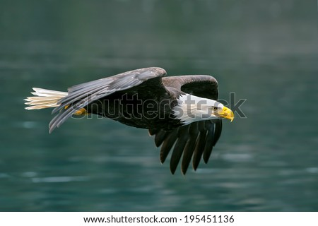 american bald eagle flying with determination over alaskan coastal bay - stock photo