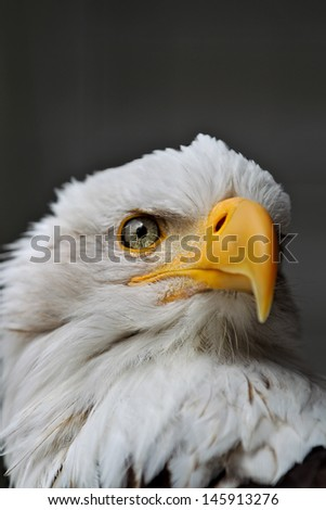 American Bald Eagle - head close up - stock photo