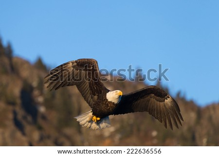 American Bald Eagle Homer Alaska flying  - stock photo