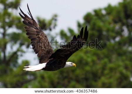 American Bald Eagle Hunting for fish over pine lined lake - stock photo