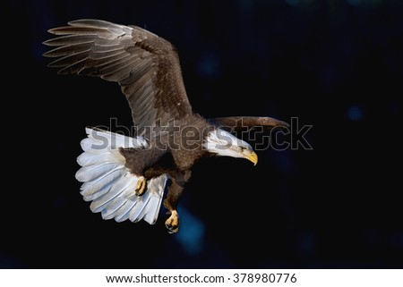 american bald eagle in flight against forested alaskan mountainside