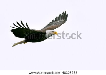 american bald eagle in flight against white cloudy sky - stock photo
