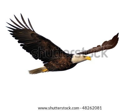 american bald eagle in flight extracted against white background - stock photo