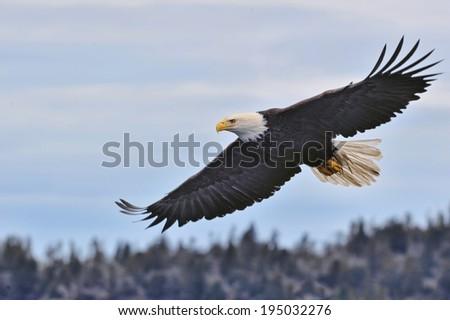 american bald eagle in flight over alaskan coast - stock photo