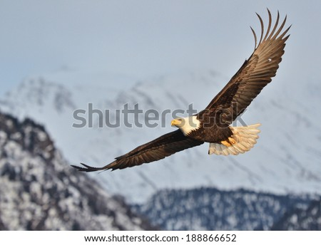 american bald eagle in flight over alaskan snow covered mountains and with warm late day sunshine on face - stock photo