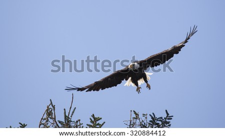 American Bald Eagle in flight over Johnstone strait, Vancouver Island, British Columbia, Canada - stock photo