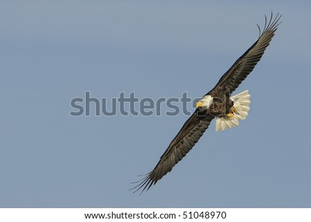 American Bald Eagle in flight with room for graphics or text - stock photo
