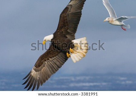 american bald eagle in flight with seagull following - stock photo