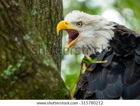 American Bald Eagle in nest - stock photo