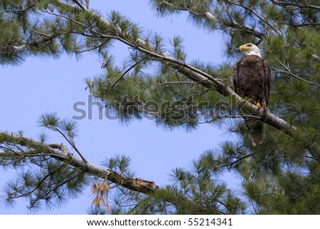 American Bald Eagle in White Pine Tree - stock photo
