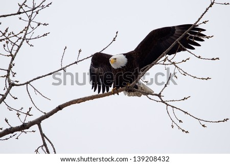 American Bald Eagle landing on a tree branch. - stock photo