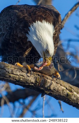 American Bald Eagle perched in a tree eating. - stock photo