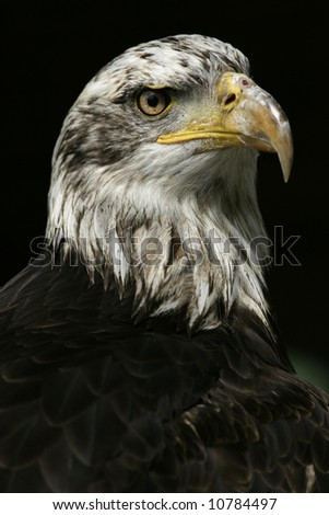 American bald eagle portrait - stock photo