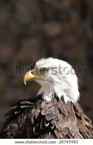 American bald eagle portrait - stock photo