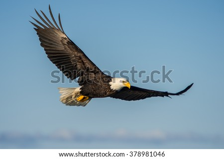 american bald eagle soaring against clear blue alaskan sky - stock photo