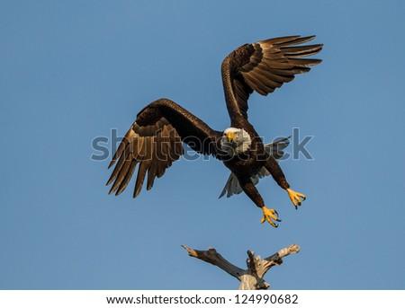 American bald eagle taking off - stock photo
