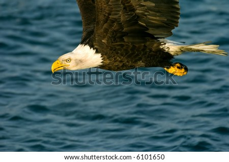 american bald eagle up close and in flight against blue alaskan waters - stock photo