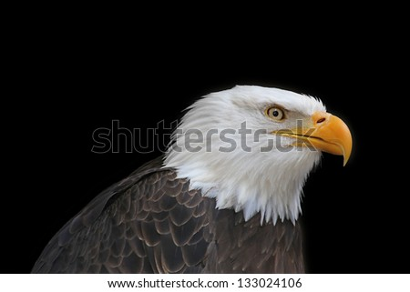 American bald eagle upper body and head side view on black horizontal background - stock photo