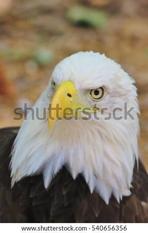 American Bald Eagle - Wild Raptor Background - Iconic Power and Strength