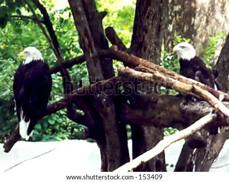 American bald-headed eagles - stock photo