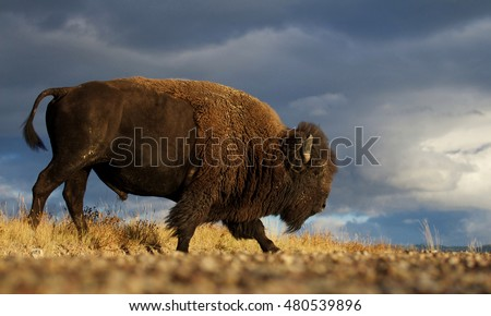 American Bison a.k.a. Buffalo walking across the prairie landscape against a dramatic stormy sky in western Montana