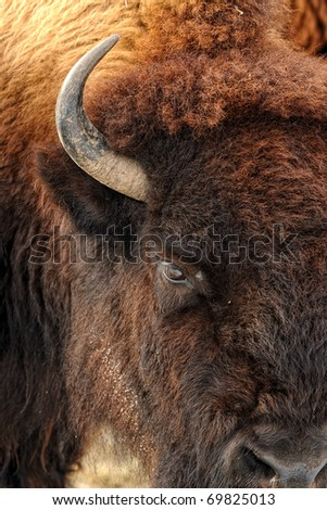 American bison (Bison bison) - stock photo