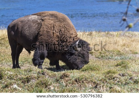 American bison (Bison bison) at Yellowstone River