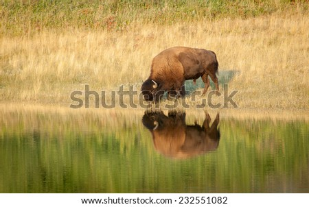 American Bison (Bison bison) drinking water, reflected on the lake. Alberta, Canada, North America.