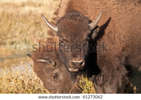 American Bison (Bison bison) looking at the camera while he/she chews some brush - stock photo