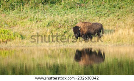 American Bison (Bison bison) reflected on the water. Alberta, Canada, North America.