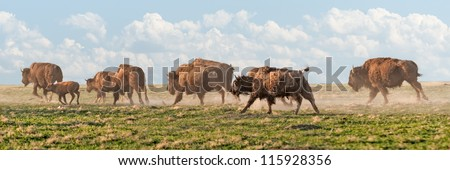 American Bison (Bison bison) Stampede - stock photo