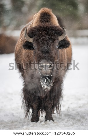 American bison (Bison bison) standing in the snow in the Winter - stock photo