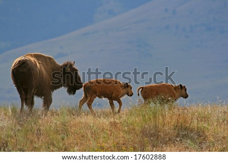 American bison (Bison bison) with calf, National Bison Range, Montana - stock photo