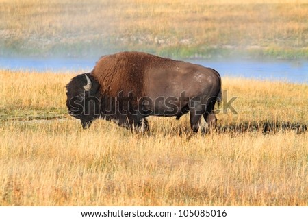 American Bison (Buffalo) in in Yellowstone National Park - stock photo