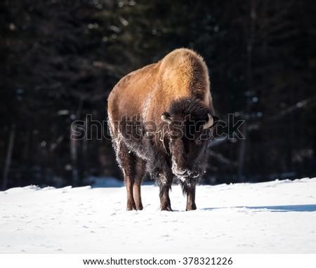 American Bison (Buffalo Meadow) in Winter - stock photo
