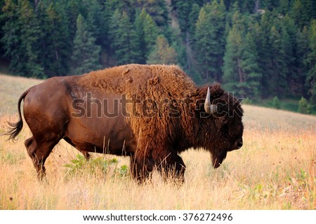 American Bison Buffalo side profile early morning in Montana at National Bison Refuge - stock photo
