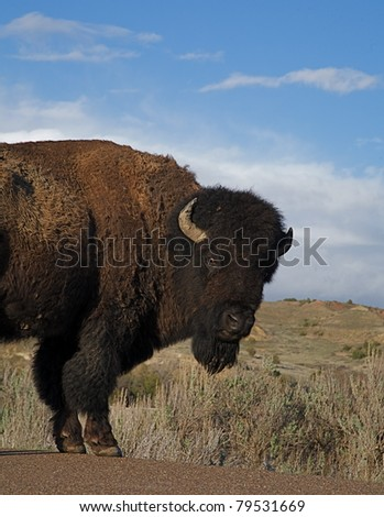 American Bison close-up portrait in Theodore National Park, North Dakota - stock photo