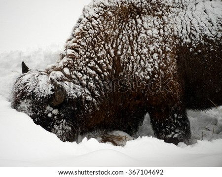 American bison closeup in snowing Yellowstone National Park in winter - stock photo