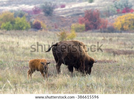 American bison family in the autumn steppe. Two American bison (bison bison) on the colorful autumn background. American bison baby with mother. - stock photo