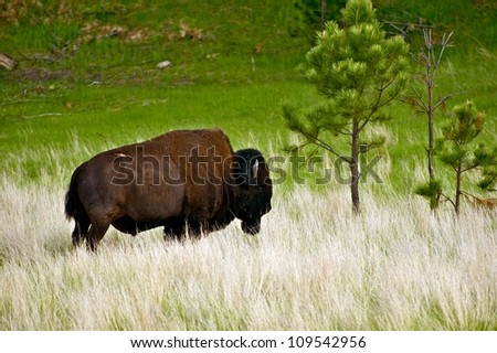 American Bison on Prairie - Custer State Park, South Dakota, USA. Single Buffalo on Grassland - stock photo