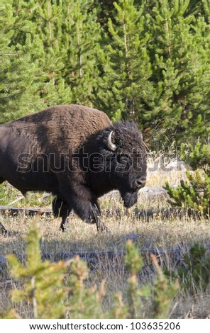 American Bison portrait taken in Yelowstone National Park - stock photo