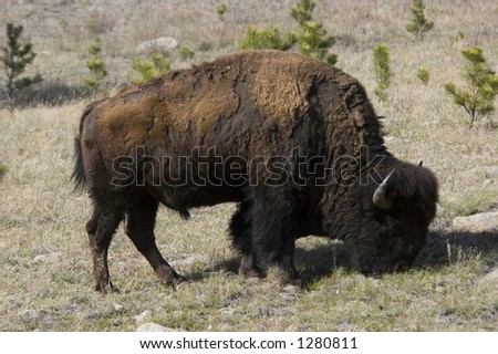 American bison - Wind Cave National Park, SD