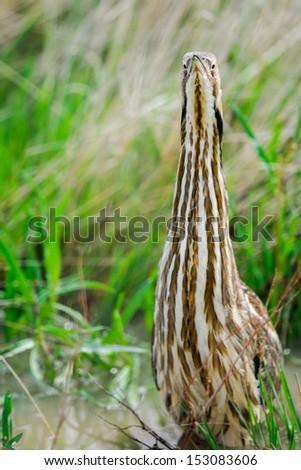 American Bittern hunting among tall grass in a prairie wetland, Grasslands National Park Canada - stock photo