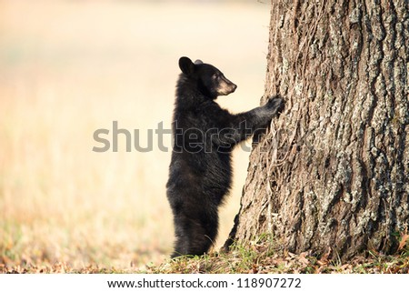 American black bear cub clinging to the side of a tree in Smoky Mountain National Park - stock photo
