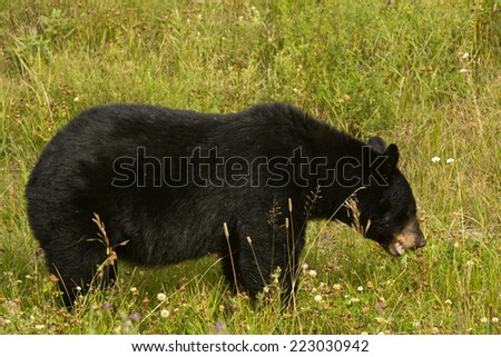 American Black Bear grazing on clover, northern British Columbia, Canada - stock photo
