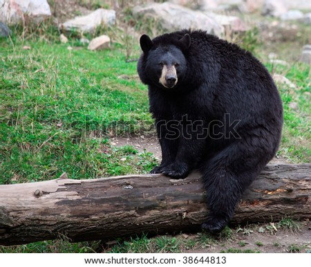 American Black Bear Sitting on a Tree Trunk - stock photo