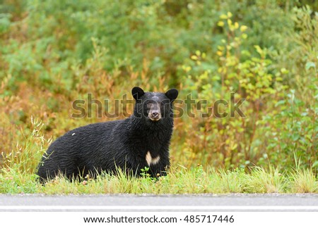 American black bear (Ursus americanus) in the woods in Whistler, British Columbia, Canada