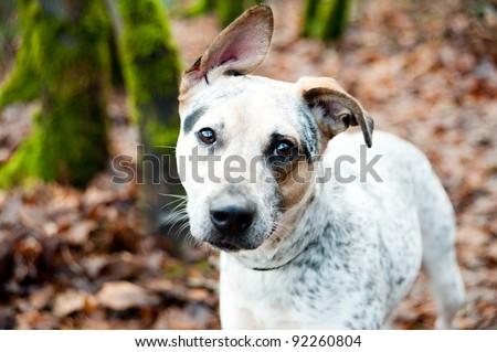American Blue Heeler Puppy Enjoying Walk Outside - stock photo